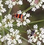 Gemeiner Bienenkäfer mordella aculeata Giersch.jpg