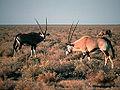 Gemsbok Oryx.jpg