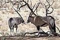 Gemsboks (Oryx gazella) resting in the shade ... (50048588032).jpg
