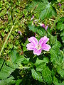 Geranium Oxonianum 2007-06-02 (flower).jpg