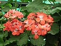 Geranium single from Lalbagh flower show Aug 2013 7916.JPG