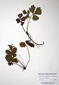 Geum fragarioides BW-1979-0522-0641.jpg