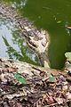 Gharial crocodile (23294183749).jpg