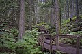 Giant Cedars Boardwalk Trail Mount Revelstoke NP.jpg