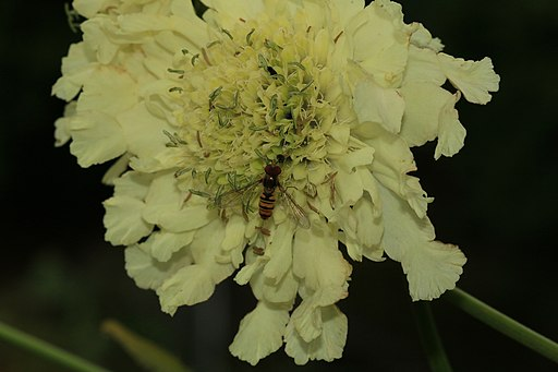 Giant scabious - Flickr - S. Rae
