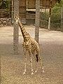 Giraffa camelopardalis - Giraffe - Girafe - Oasis Park - 03.jpg