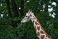 Giraffe (27553379414).jpg