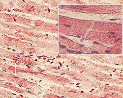 Cardiac muscle (Dr. S. Girod, A. Becker)