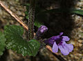 Glechoma Hederacea Morsan.jpg