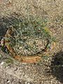 Globularia alypum (15383708815).jpg