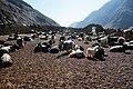 Goats along the Friendship Highway, Tibet in 2014.jpg