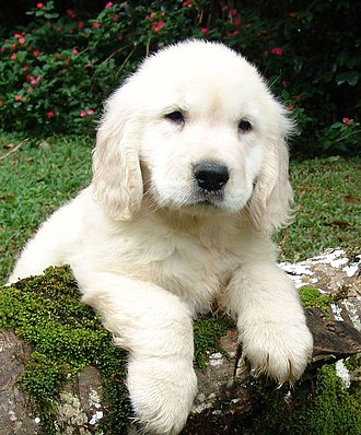 Puppy - Golden Retriever puppy