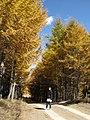 Golden forests at Chongli 崇礼金秋 (8181821073).jpg