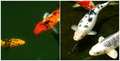 Goldfish and Koi.png