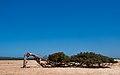 Gone Driveabout 6, Twisted Gum near Geraldton, Western Australia, 24 Oct. 2010 - Flickr - PhillipC.jpg