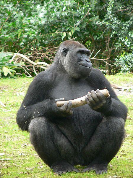 Fichier:Gorilla gorilla gorilla8.jpg
