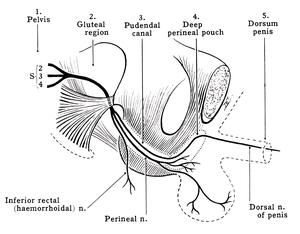 Pudendal nerve - Image: Grant 1962 215