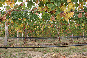 Irrigation in viticulture - A vineyard with a drip irrigation system running along the bottom of the vines