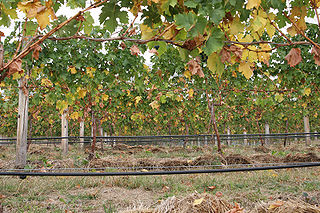 Irrigation in viticulture