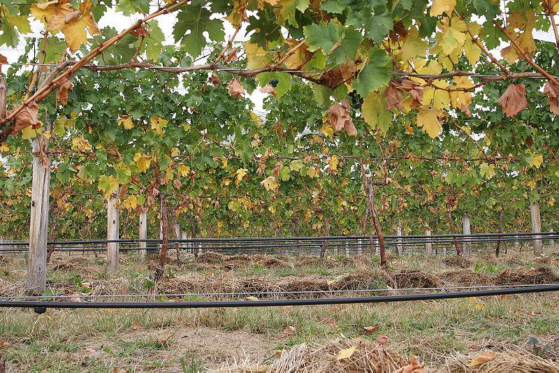 Grape vines02.jpg
