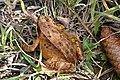 Grasfrosch Tannenzapfen 4.jpg