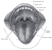 Drawing of an anterior view of the tongue and oral cavity, with cheeks removed for clarity.