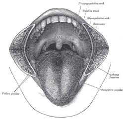 Kap Abb besides F in addition Cdr additionally St Week Digestivesystemi as well St Week Digestivesystemi. on frenulum linguae