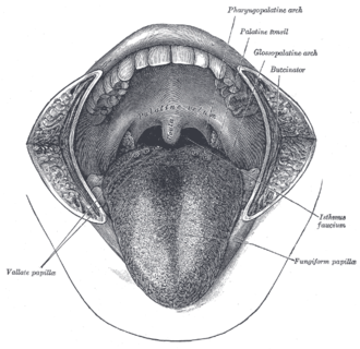 Lingual septum - The mouth cavity. The cheeks have been slit transversely and the tongue pulled forward. (Lingual septum is visible at center of tongue, but not labeled.)