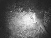 File:Gray fox (Urocyon cinereoargenteus) in New Mexico.webm