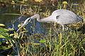 Great Blue Heron hunting (5477281510) (2).jpg