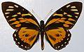 Great Tiger-mimic (Papilio zagreus) (8376961980).jpg