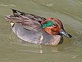 Green-winged male RWD4.jpg