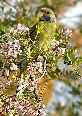 Green Rosella eating plucked flowers.jpg
