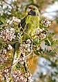 Green Rosella eating plucked flowers.jpg