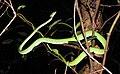 Green Vine Snake Ahaetulla nasuta by Dr. Raju Kasambe DSCN0089 (11).jpg