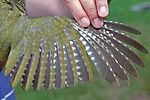 Green Woodpecker wing.jpg