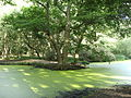 Green algae on Hamstead Heath ponds 05.jpg