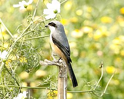 Grey backed shrike (Lanius tephronotus tephronotus).jpg