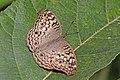 Grey pansy (Junonia atlites atlites) dry season form Bardia.jpg