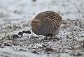Grey partridge (33493277978).jpg