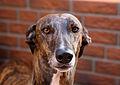 Greyhound Benghazi's - 1.JPG