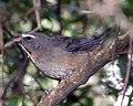 Greyish Saltator (Saltator coerulescens)..jpg