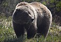 Grizzly bears are omnivorous, as demonstrated by this grass-eating bear (c6a92835-441b-4c1c-b789-4f9b092b9256).jpg