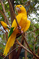 A yellow parrot with green-tipped wings and tan eye-spots
