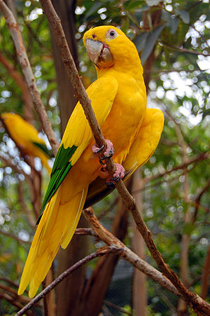 Golden parakeet - At Gramado Zoo, Brazil