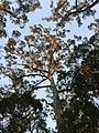 Gum Tree At Sunrise.jpg