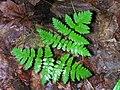 Gymnocarpium dryopteris 1-jgreenlee (5097435857).jpg