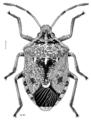 HEMI Pentatomidae Cermatulus nasalis nasalis f.png