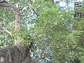 HK CWB Summer 棉花路 Cotton Path tree leaves crown Celtis sinensis 朴樹 Chinese Hackberry.JPG