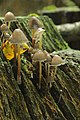 Haard Clustered Bonnet - Mycena inclinata (24010737488).jpg